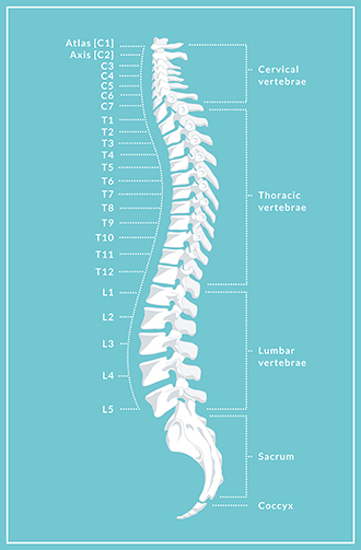 spinal cord injury \u2013 types of injury, diagnosis and treatment Spinal Cord Anatomy Diagram sacral vertebrae (s1 5) in the pelvis
